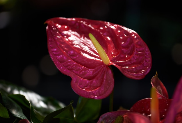 De levendige kleur van anthuriumbloem in de tropische tuin