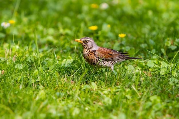 De lijster staat op het gras ernaast met een regenworm.
