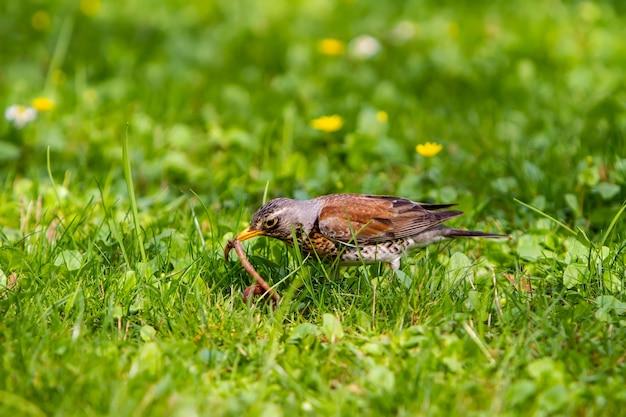 De lijster trok de regenworm uit de grond en houdt hem in zijn snavel.