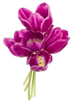 De lila die tulp bloeit boeket dat op wit knipsel wordt geïsoleerd als achtergrond