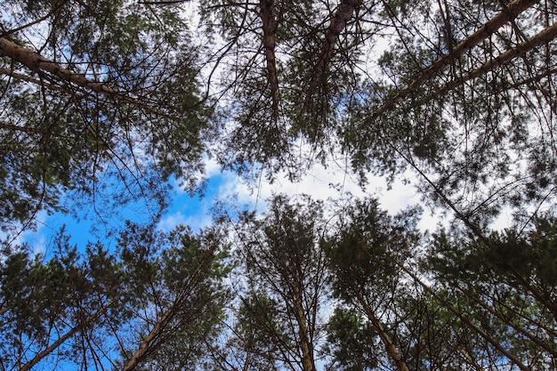 De lucht met wolken door de groene kronen van dennen