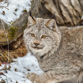 De lynx van canada hurkte in de sneeuw, extreme close-up