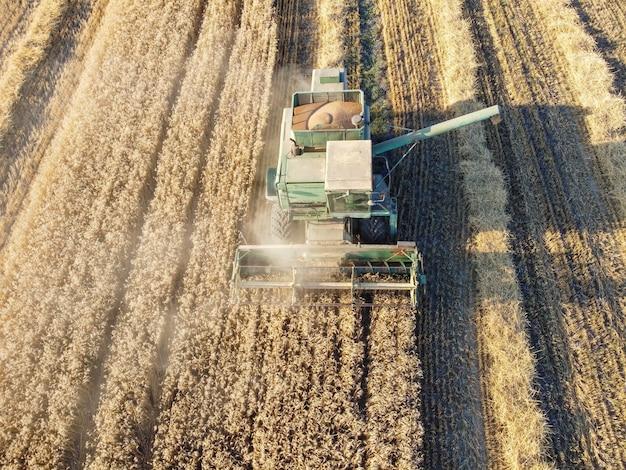 De maaidorser oogst tarwe, graan in de hopper, stof dat opstijgt van het werk van de maaidorser in het veld.
