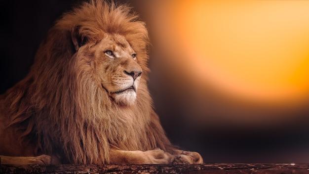 De machtige leeuw ligt bij zonsondergang