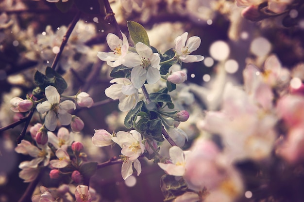 De magie van een roze bloeiende appelboom in het voorjaar.