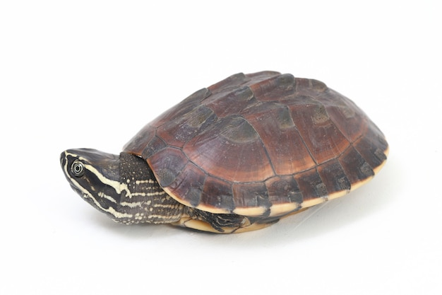 De maleise slak-etende schildpad op witte ruimte