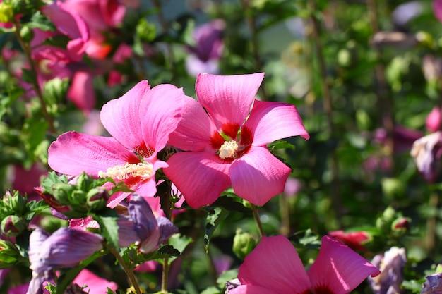 De malve bloeit roze knoppen onder de bladeren op een zonnige dag.