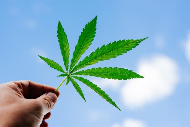De man houdt een cannabisblad in zijn hand