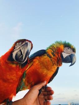 De man houdt twee kleurrijke macaw papegaaien op zijn arm