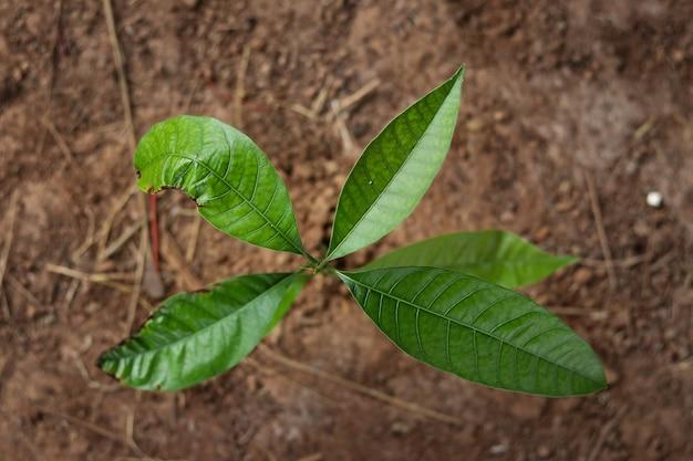 De mangoboom groeit in het bovenaanzicht.