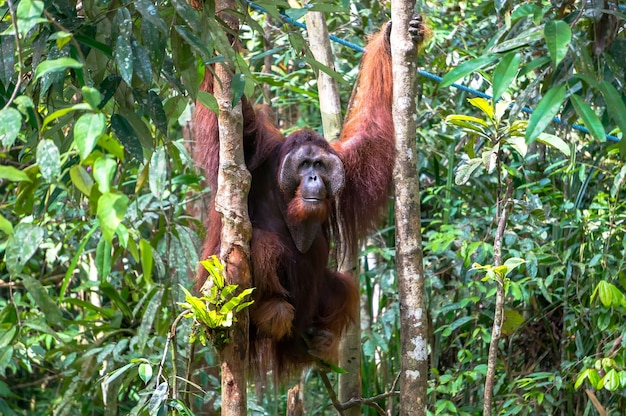 De mannelijke orang-oetan hangt aan een boom en houdt zich vast aan de stammen van bomen. nationaal park op het eiland borneo