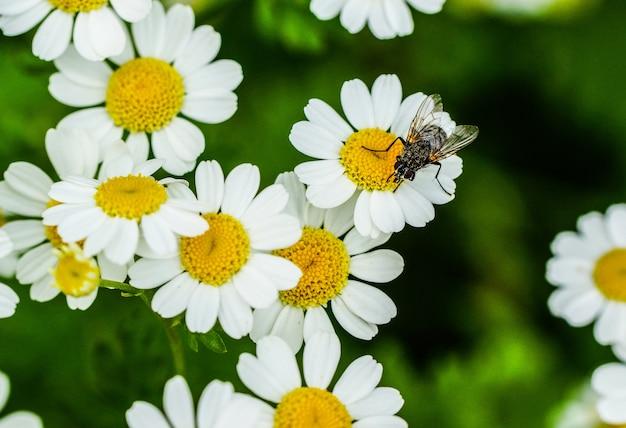 De mening van de close-up van een vlieg op mooie uiterst kleine madeliefjebloemen