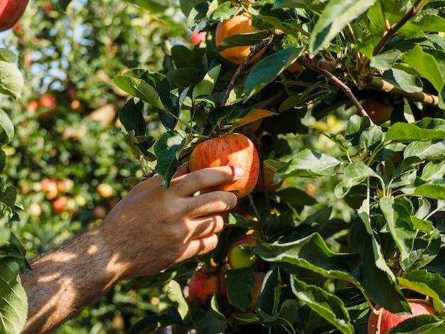 De mens dient de oogst van rode appelen in