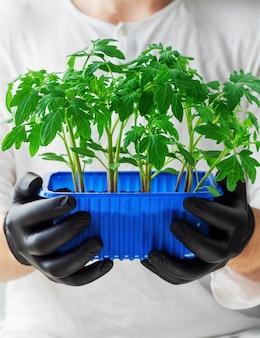 De mens houdt een pot tomatenzaailingen vast
