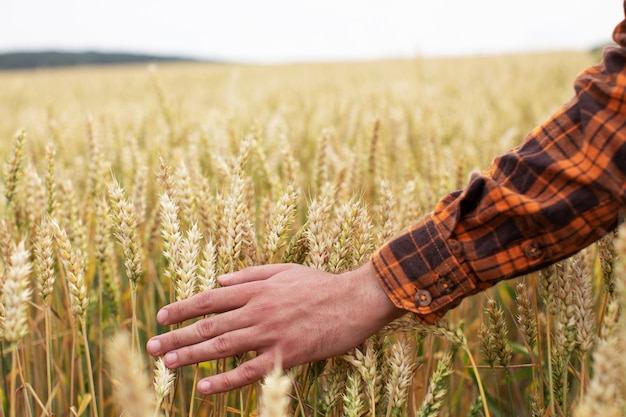 De mens raakt oren van rijpe tarwe met zijn hand aan