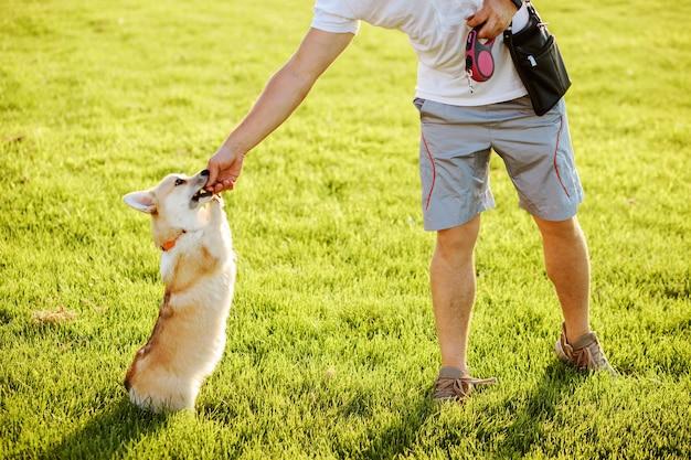 De mens voedt en traint zijn welsh corgi pembroke-hond in de zomer buiten.