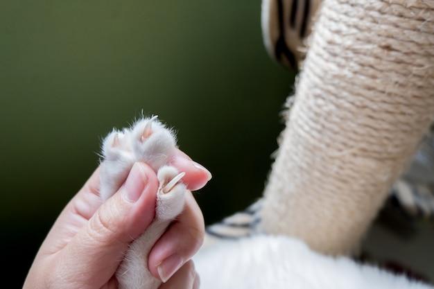 De menselijke hand vangt de poot van de kat voordat hij de nagel van de kat in orde maakt