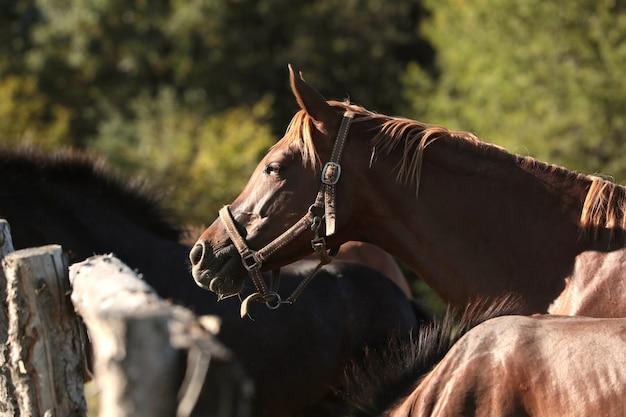 De merrie kijkt 's ochtends naar de andere paarden
