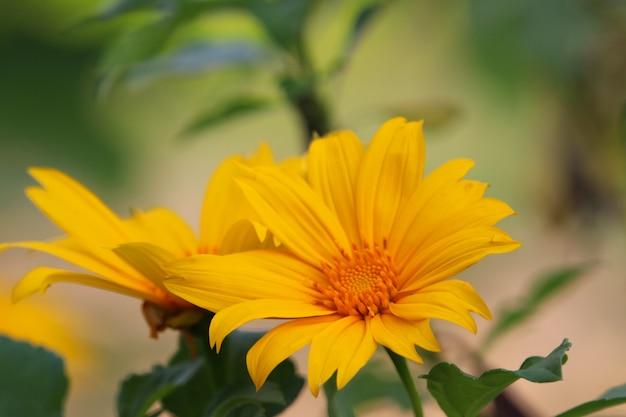 De mexicaanse mooie kleur van de de lentetijd van het zonnebloemonkruid met bladeren op aardachtergrond
