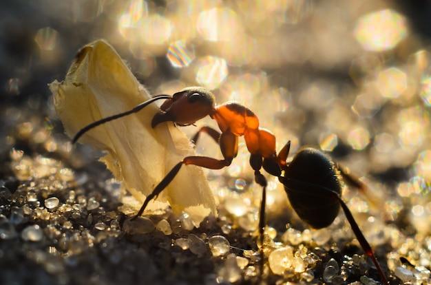 De mier draagt de tentakels van de vlindervleugel