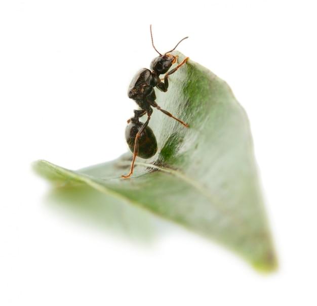 De mier wil een blad overwinnen.