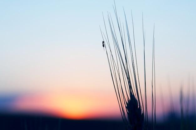 De mier zit op het oor van tarwe op zonsondergang achtergrond. geweldige natuur en landschappen
