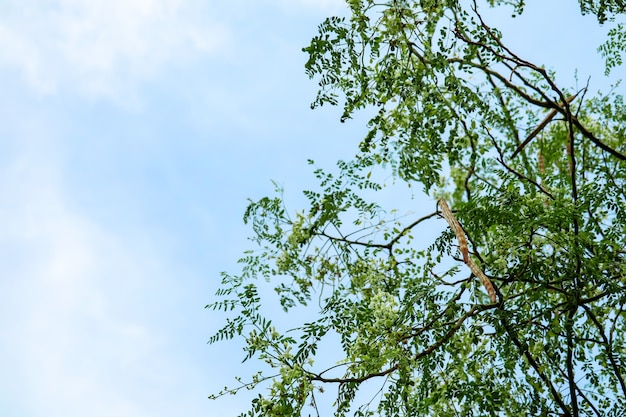 De mierikswortelboom of drumstick heeft witte en geeloranje bloem