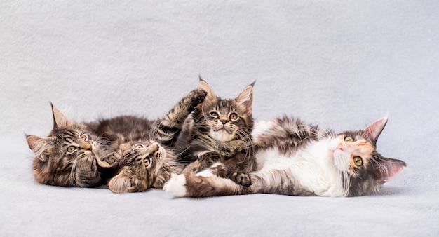 De moeder-kat van de familie mainecoon en drie kittens liggen op een lichte, donzige deken