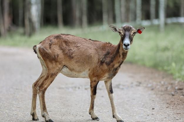 De moeflon (ovis orientalis) in het bosreservaat