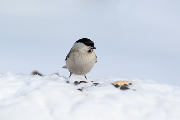 De moerasmees (poecile palustris) zit op de sneeuw