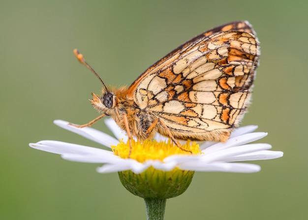 De moerasparelmoervlinder (melitaea parthenoides)