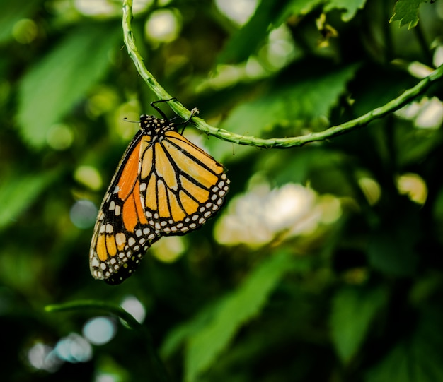 De monarchvlinder of eenvoudig monarch (danaus plexippus) hangt ondersteboven aan een groene stengel