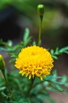 De mooie bloeiende goudsbloembloemen van azië in de tuin