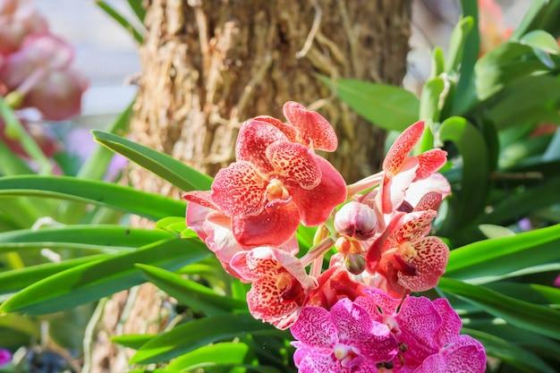 De mooie bloem die van de vandaorchidee op tuin bloemenachtergrond bloeien