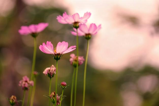 De mooie bloem van de pastelkleur roze kosmos in zonnige dag bij park