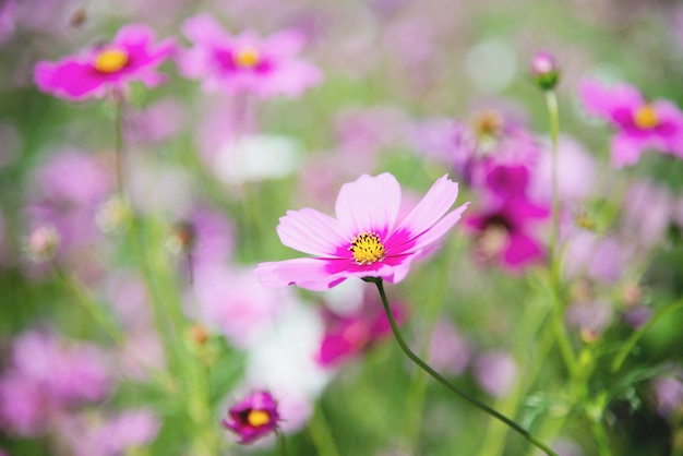 De mooie bloemen van de de lente purpere kosmos op groene tuinachtergrond