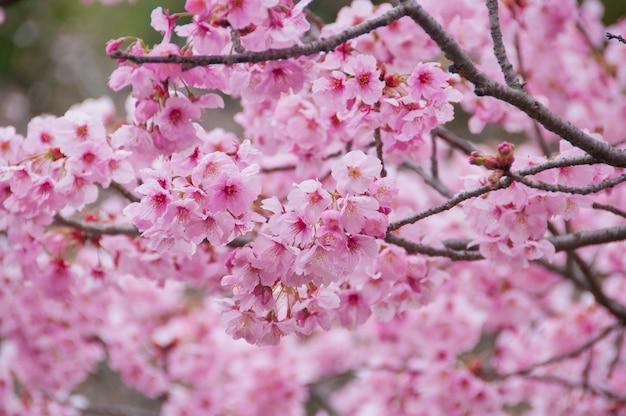 De mooie bloemen van de sakurabloemen van de volledige bloei roze kers