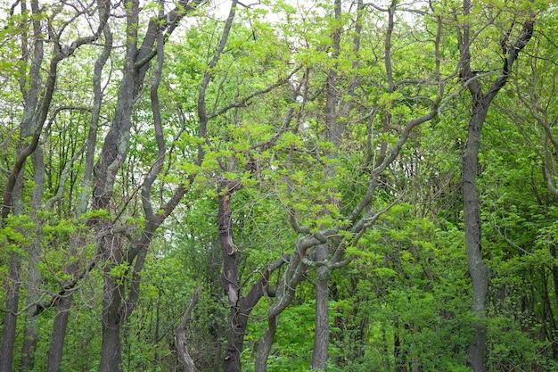 De mooie boomstam van de onduidelijk beeldbomen en zonlicht in foret in boston.