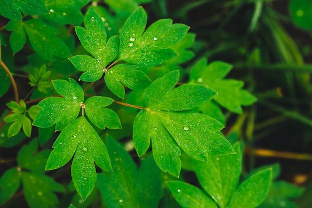 De mooie levendige groene bladeren van dicentra met dauw laat vallen close-up met exemplaarruimte. puur, aangenaam, mooi groen met regendruppels in zonlicht. achtergrond van groene getextureerde planten in regenweer. gras.