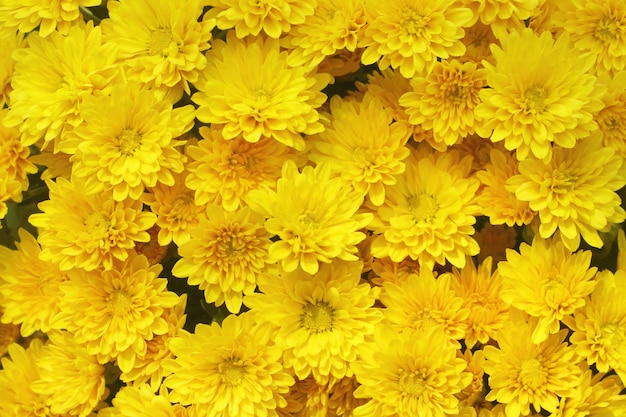 De mooie paardebloem, gele bloemen bloeit in de tuin.