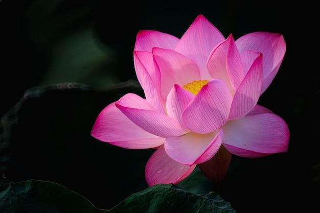 De mooie roze bloesem van de lotusbloembloem met blad in vijver.