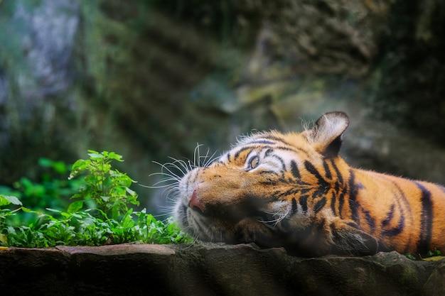 De mooie tijger groene tijger van bengalen in bos toont aard.