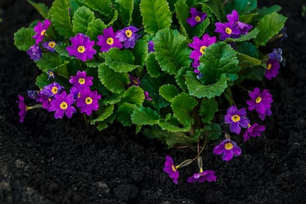 De mooie violette bloemen van primula met sappige groene bladeren groeien dicht in grond in grond.