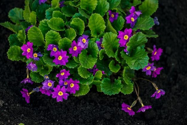 De mooie violette bloemen van primula met sappige groene bladeren groeien dicht omhoog in grond