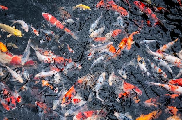 De mooie vissen die van karperkoi in vijver in de tuin zwemmen