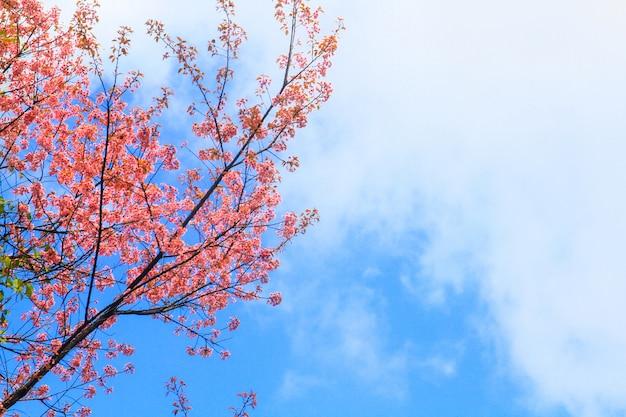 De mooie wilde himalayan-kers bloeit met blauwe hemel in bos op de berg, thailand