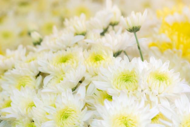 De mooie witte achtergrond van chrysantenbloemen