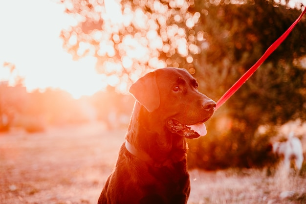 De mooie zwarte zitting van labrador in een park bij zonsondergang. huisdieren buitenshuis en levensstijl