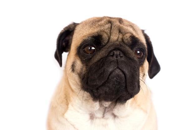 De mops hond zit en kijkt recht in de camera. trieste grote ogen.