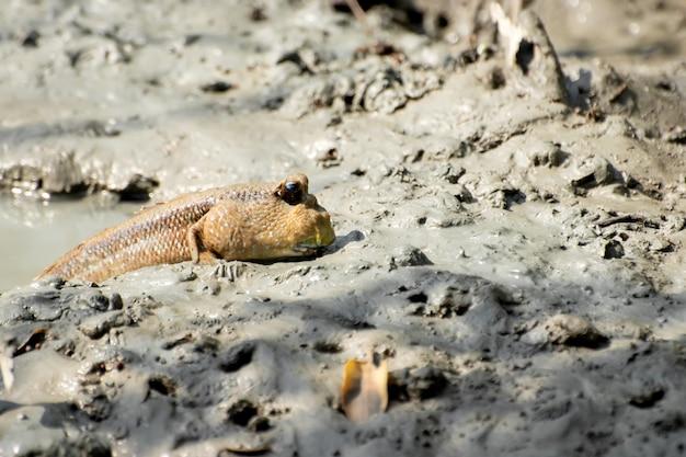 De mudskipper in de modder die in het mangrovebos ligt.